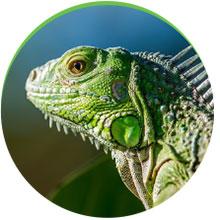 Bild på kameleont med bra skärpa